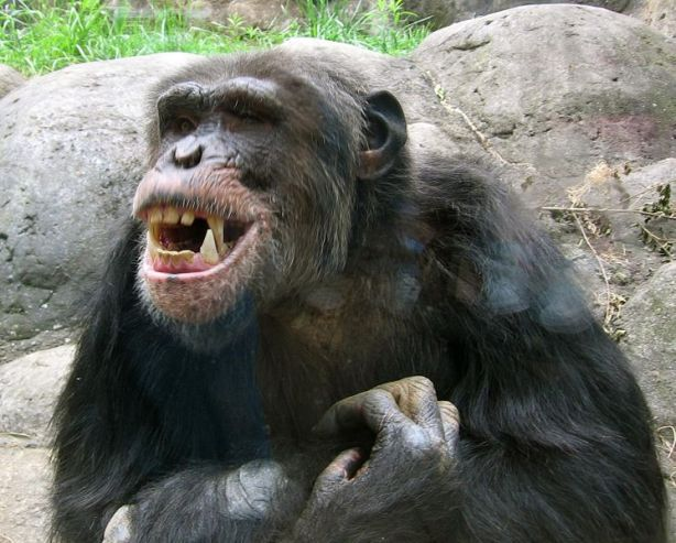 746px-knoxville_zoo_-_chimpanzee_teeth