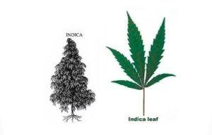 indica(1)